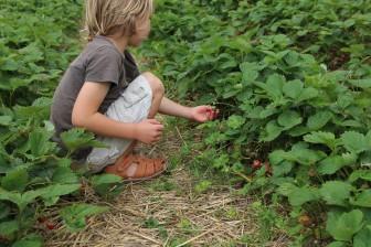 Erdbeerfeld2